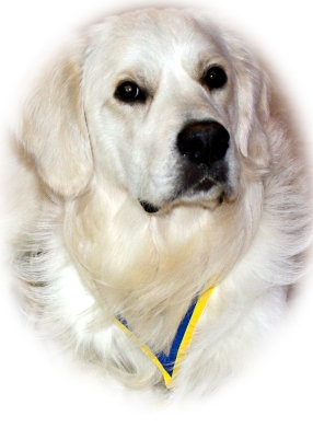 A typical English Golden Retriever