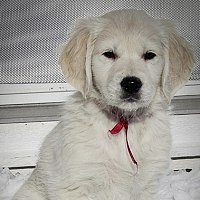 English Golden Retriever puppy in the snow